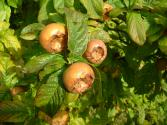 Medlars Come To California - Good News For Californians