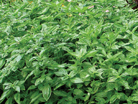 Flowering basil is the king of herbs