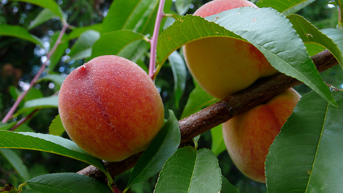 How To Differentiate Between Fresh Peaches And Nectarines
