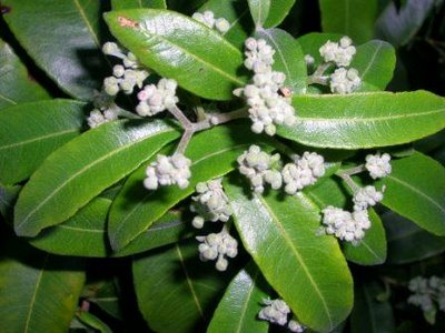 Lemon myrtle leaf benefits