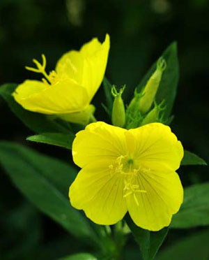 Uses Of Evening Primrose Oil
