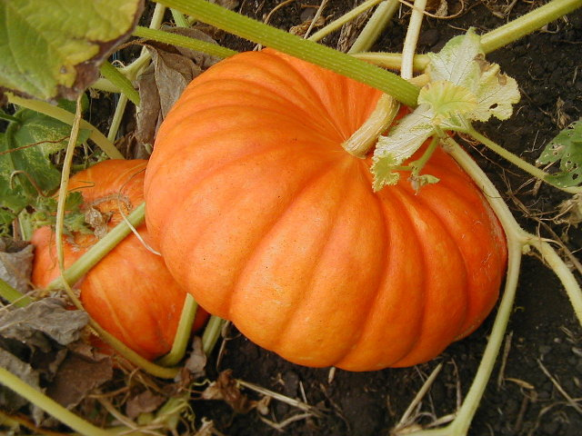 How To Can Pumpkin