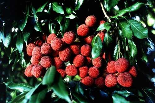 How To Eat Lychee?