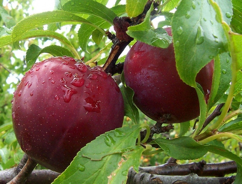 How To Eat Plum?