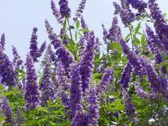 Vitex Capsule Benefits
