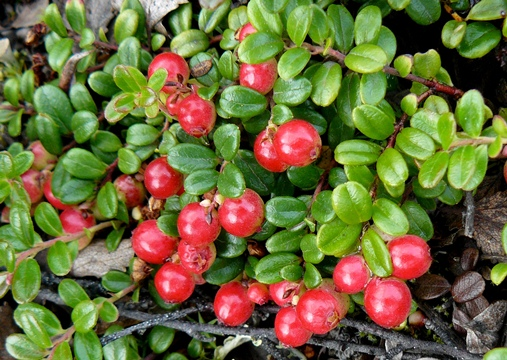 Lingonberry - A Superfruit That Prevents Weight Gain!