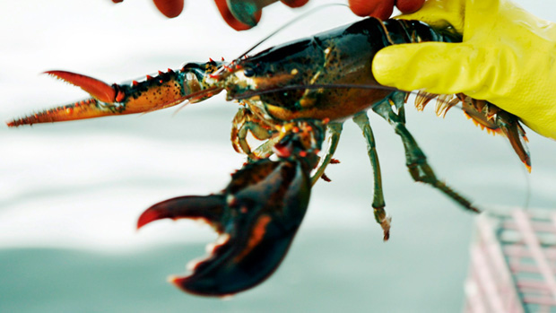 Do You Know How To Deal With A Lobster?
