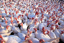 Top 10 Sustainable Turkey Varieties