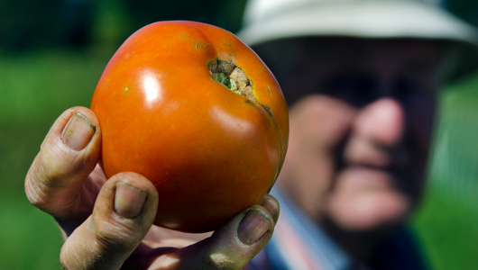 Grab Free Seeds Of Blight-Free Tomatoes