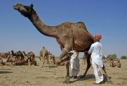 Learn about the benefits of camel milk