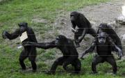 Male Chimps Bribe Females with Meat for Sex!