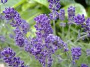 Cutting lavender.